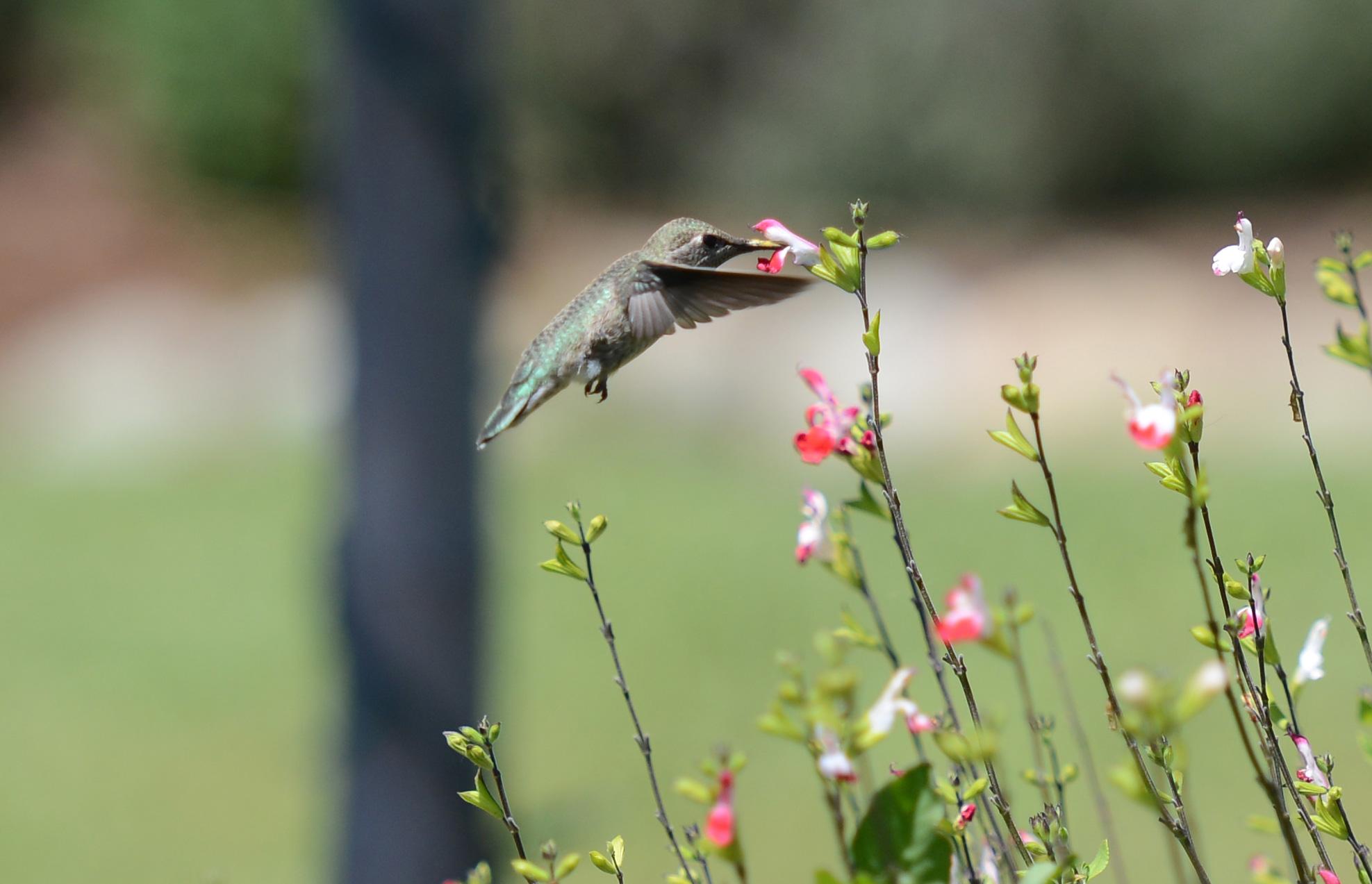 Hummingbird_DSC_2620