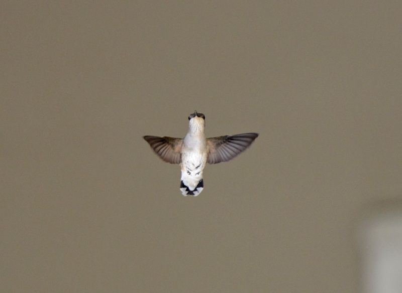 Hummingbird_DSC_3280