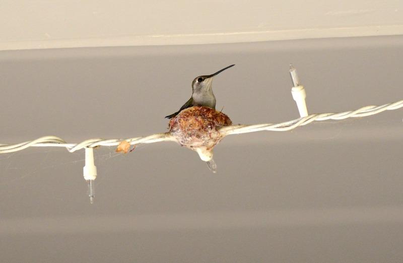 Hummingbird_DSC_3283