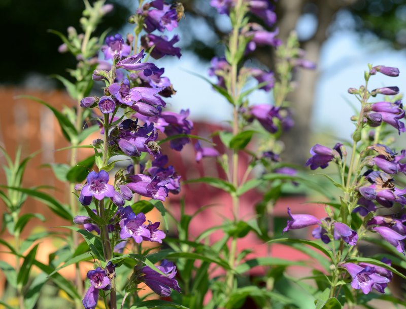 Penstemon_DSC_2882
