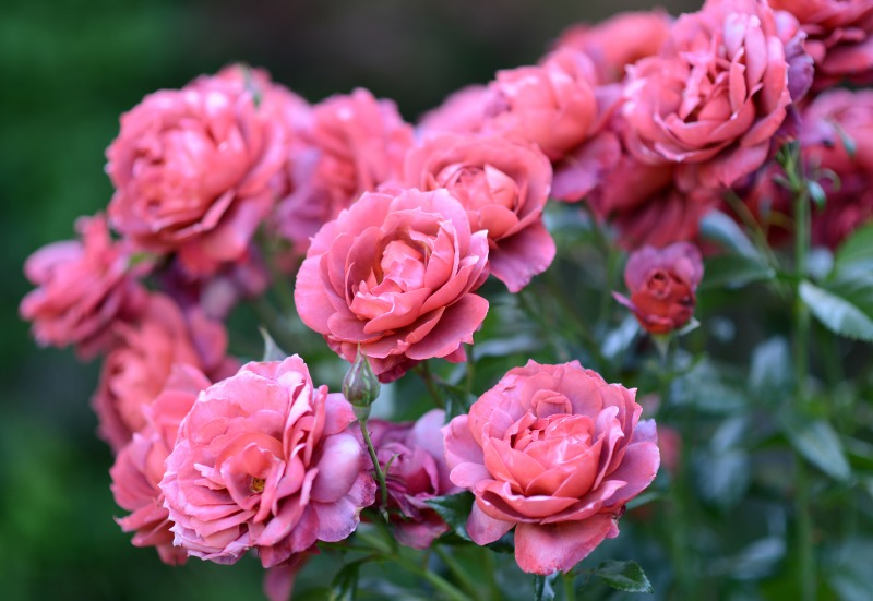 Roses_851
