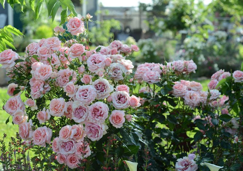 Roses_DSC_2302