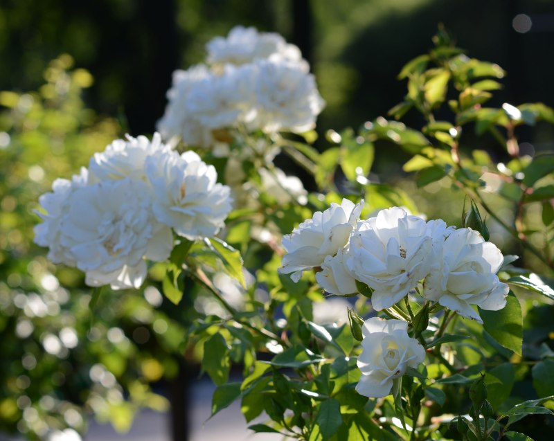 Roses_DSC_3819