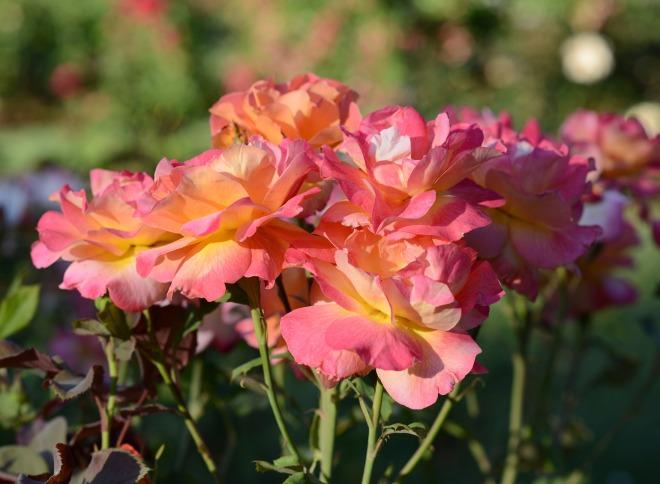 Roses_DSC_3823