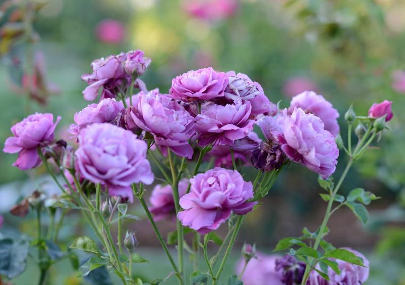 Roses_DSC_3828