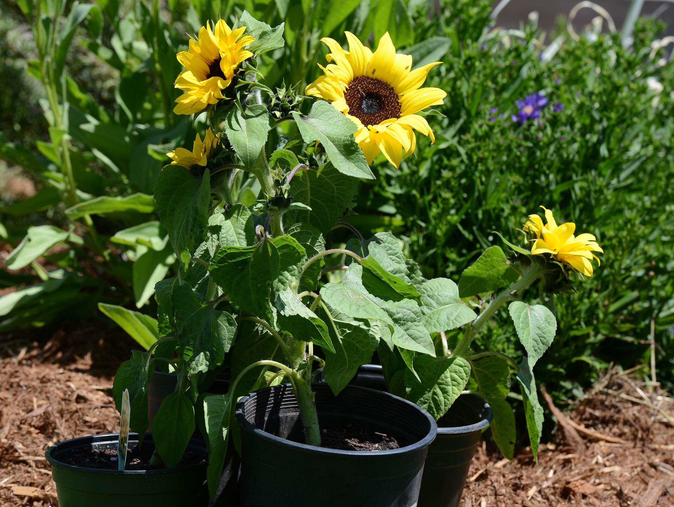 Sunflower_DSC_2577