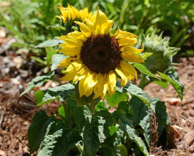 Sunflower_DSC_3683