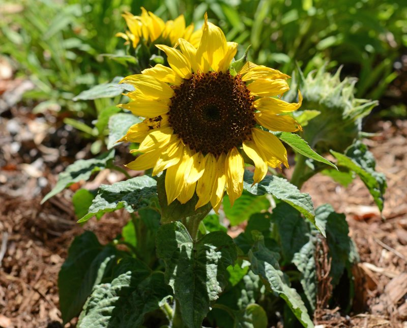 Sunflower_DSC_3683