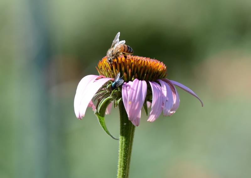 Bee_Fly_DSC_4311