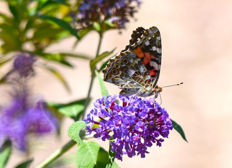 Butterfly_DSC_4249