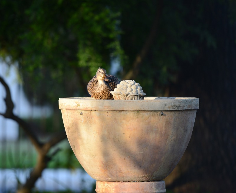 Duck-Fountain-DSC_1421