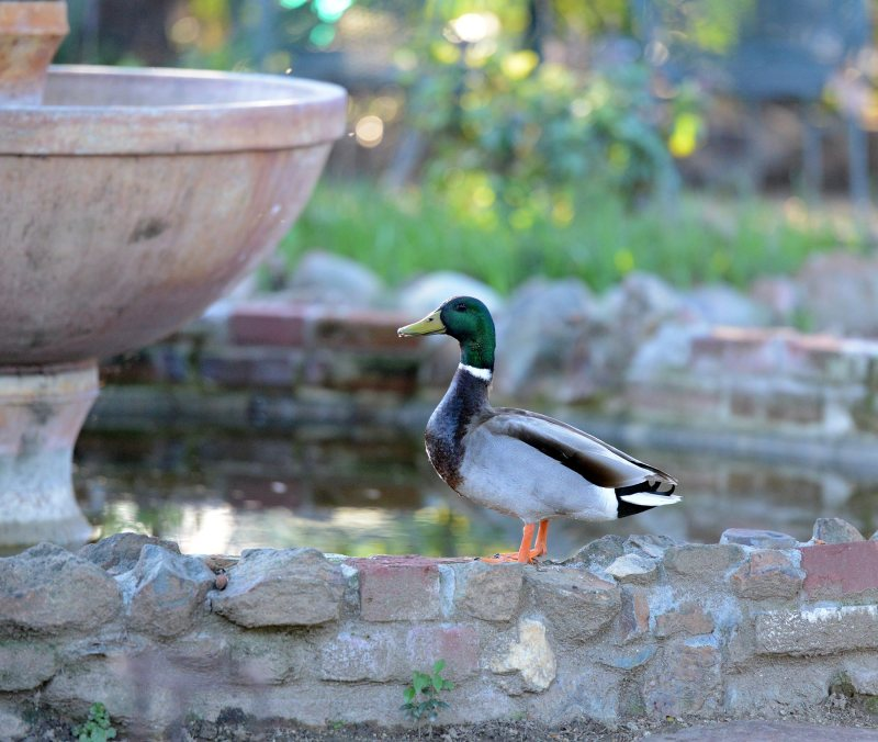 Duck-Fountain-DSC_1440