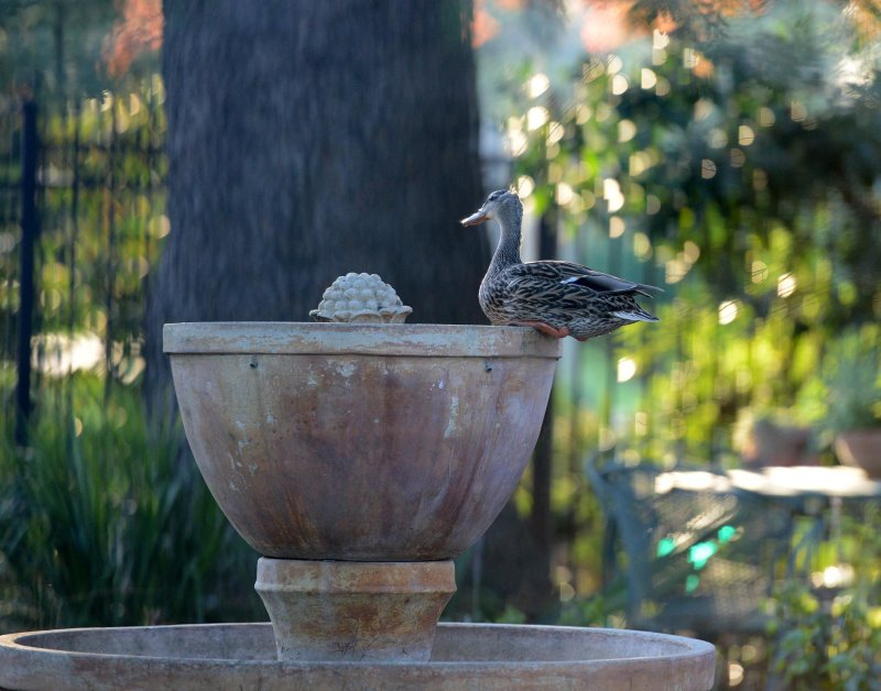 Duck-Fountain-DSC_1442