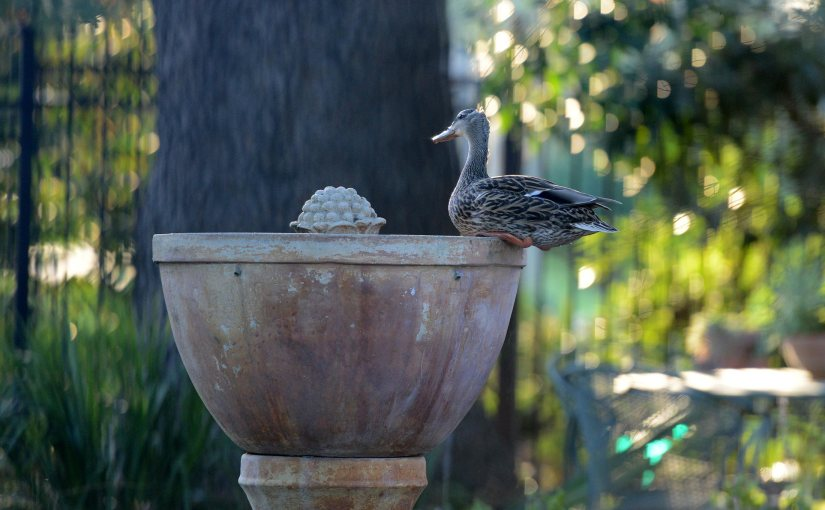 Wordless Wednesday: Duck, Duck,Goose