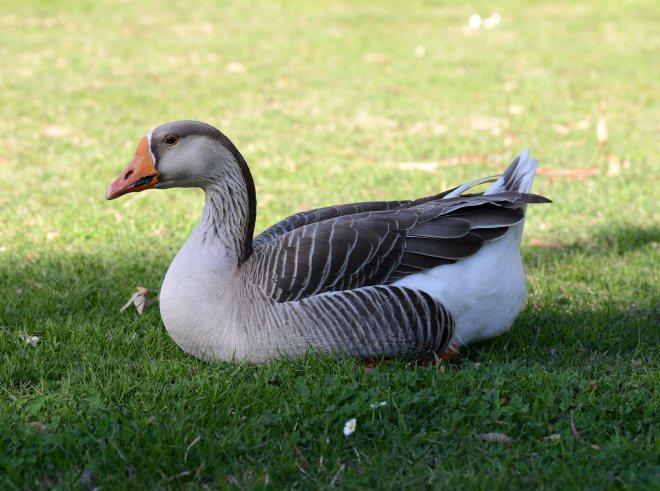 Goose_DSC_1569