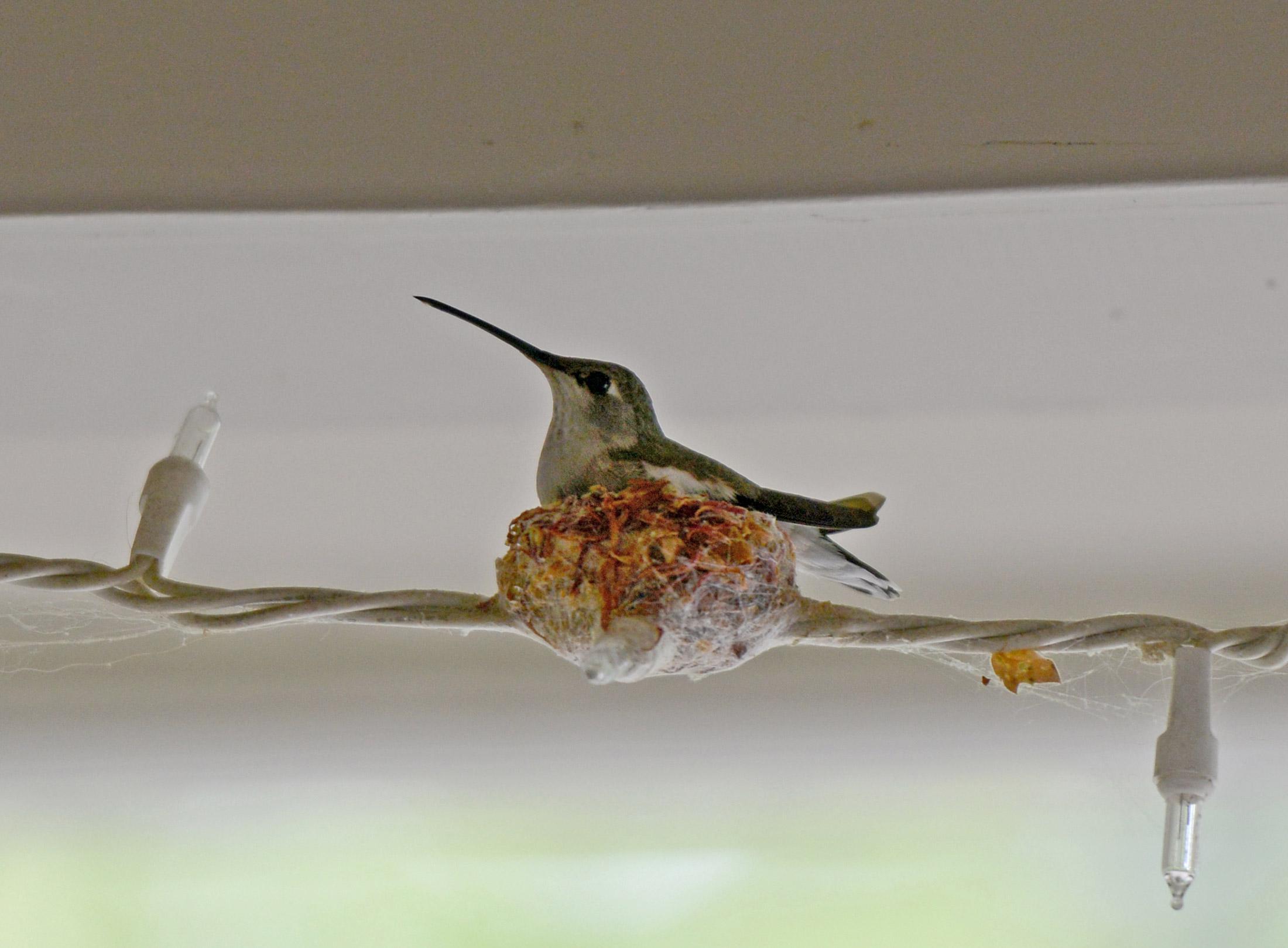 Hummingbird Nests Archives - Imágenes de Hummingbird