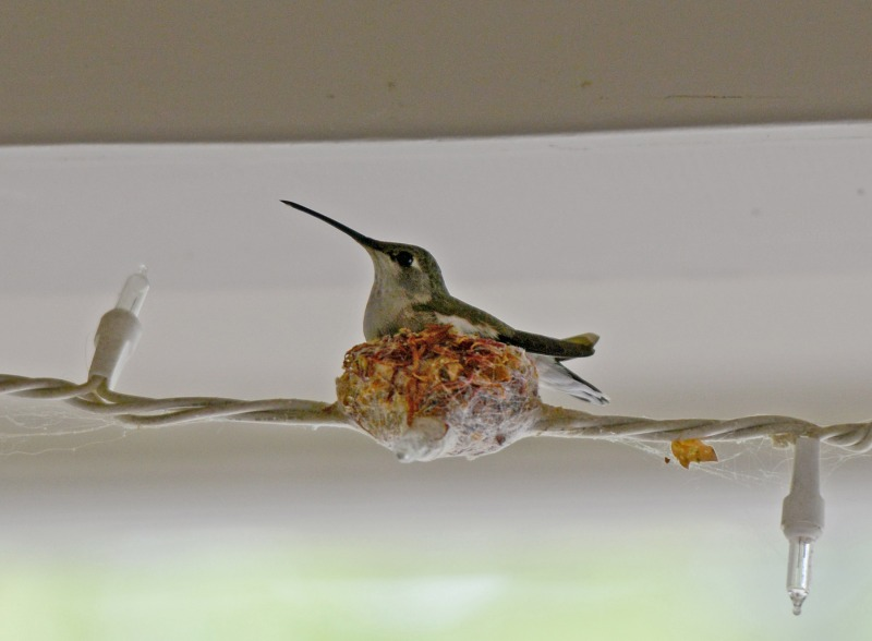 Hummingbird-Nest_DSC_3105