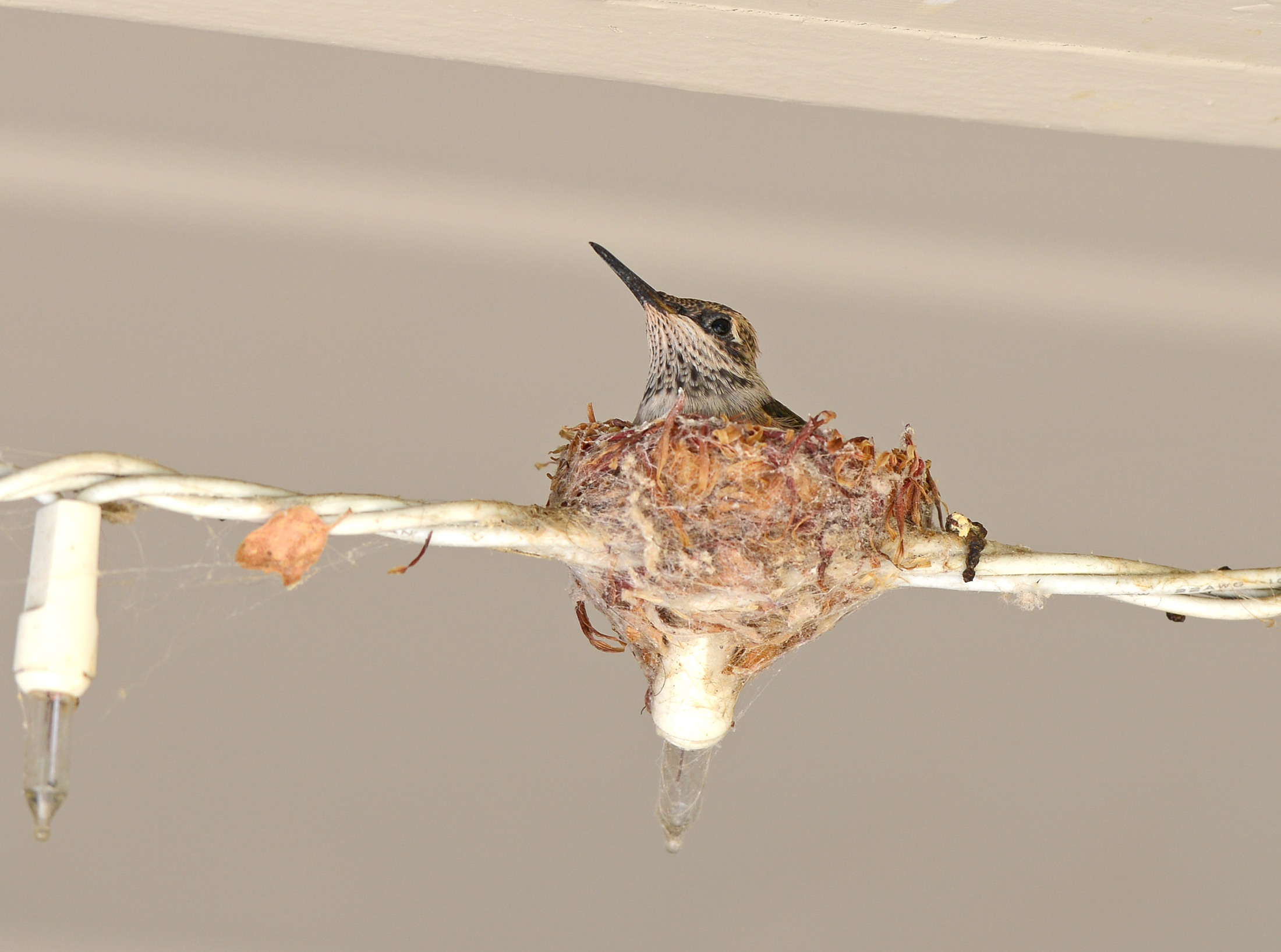 Hummingbird_Day19_Alone_DSC_5410