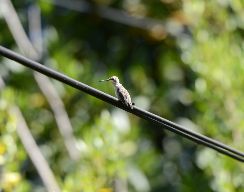 Hummingbird_Day19_Firstflight_DSC_5447