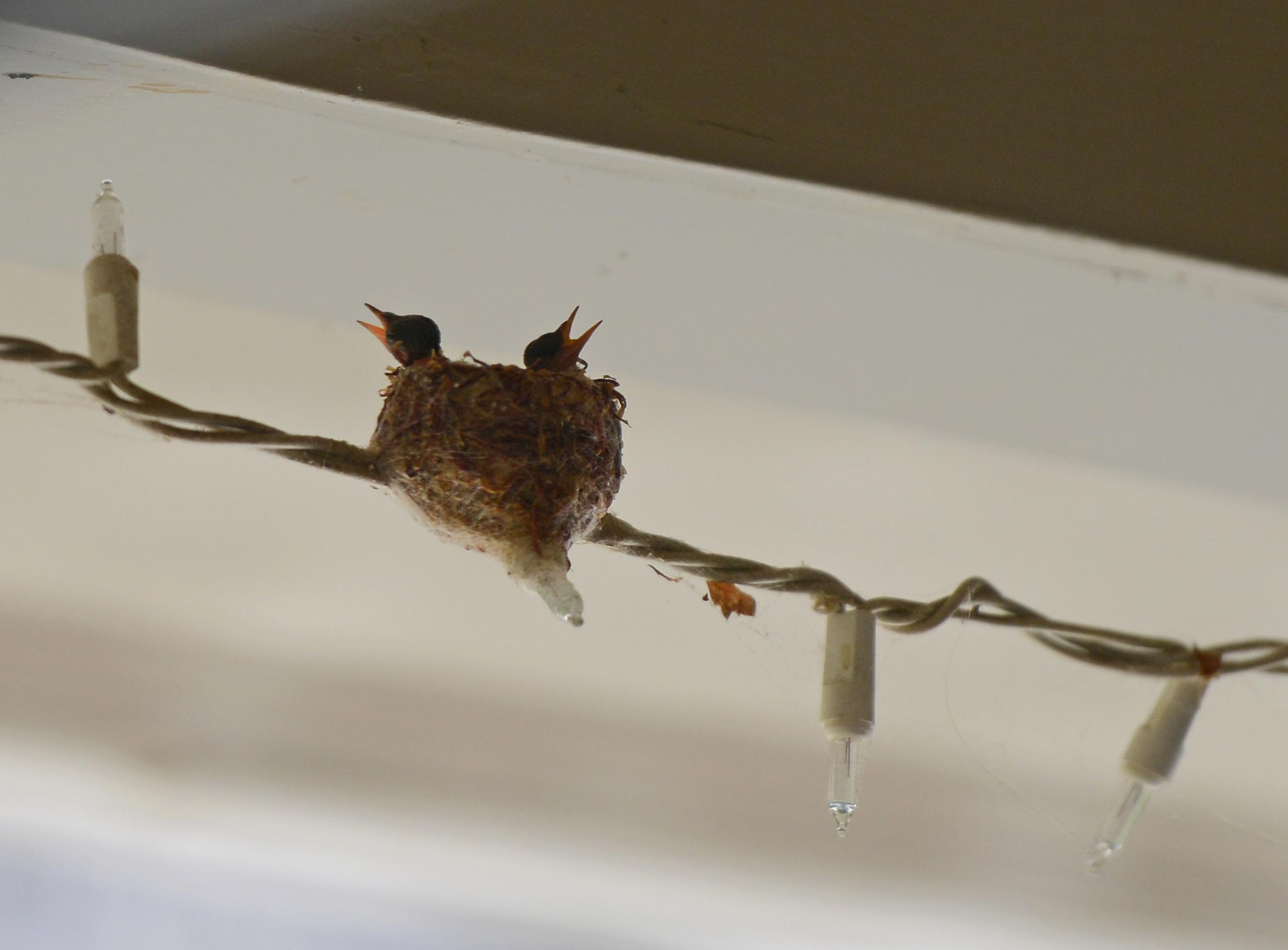 Hummingbird_Day3_DSC_4696
