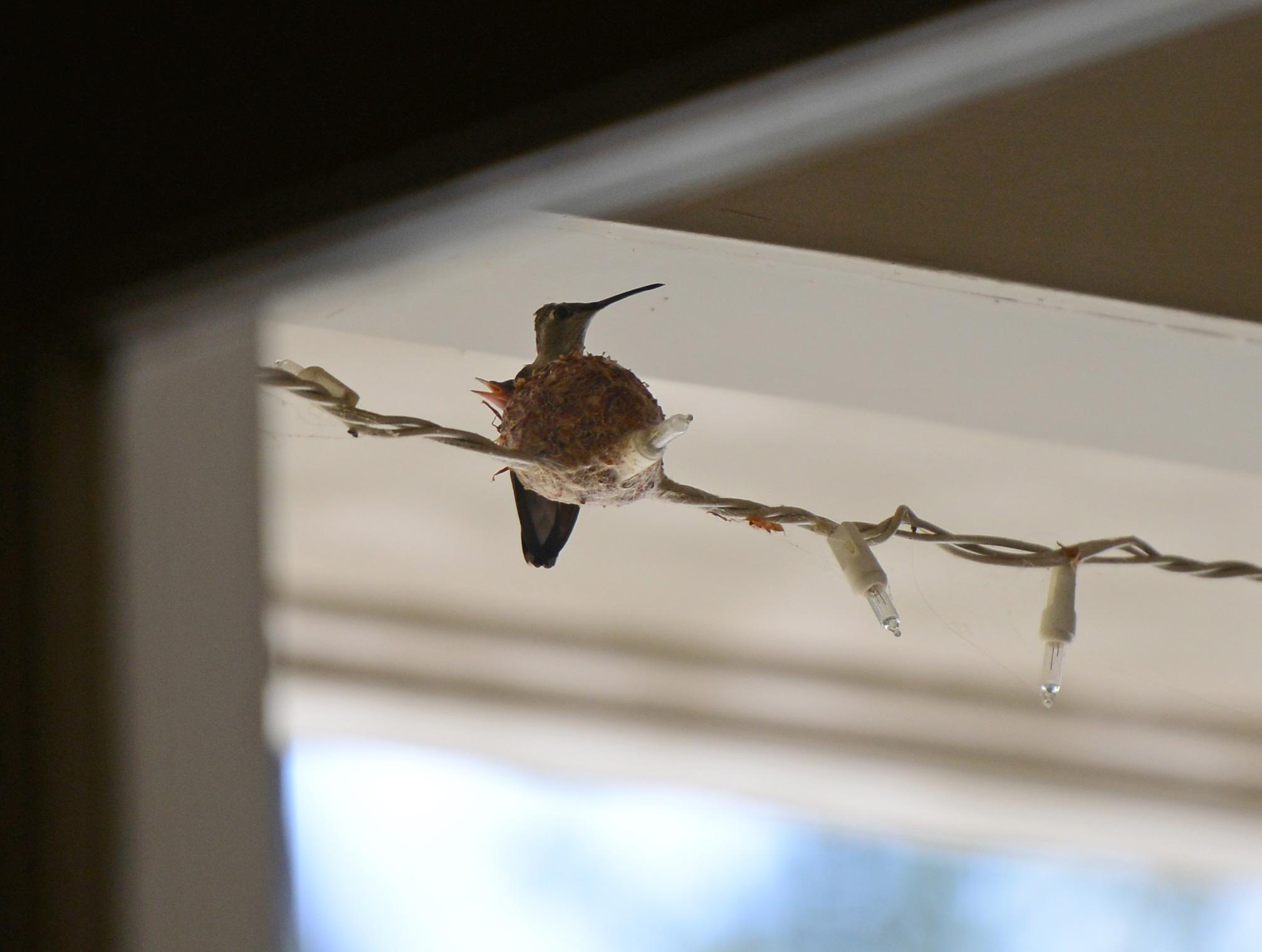 Hummingbird_Day3_DSC_4708