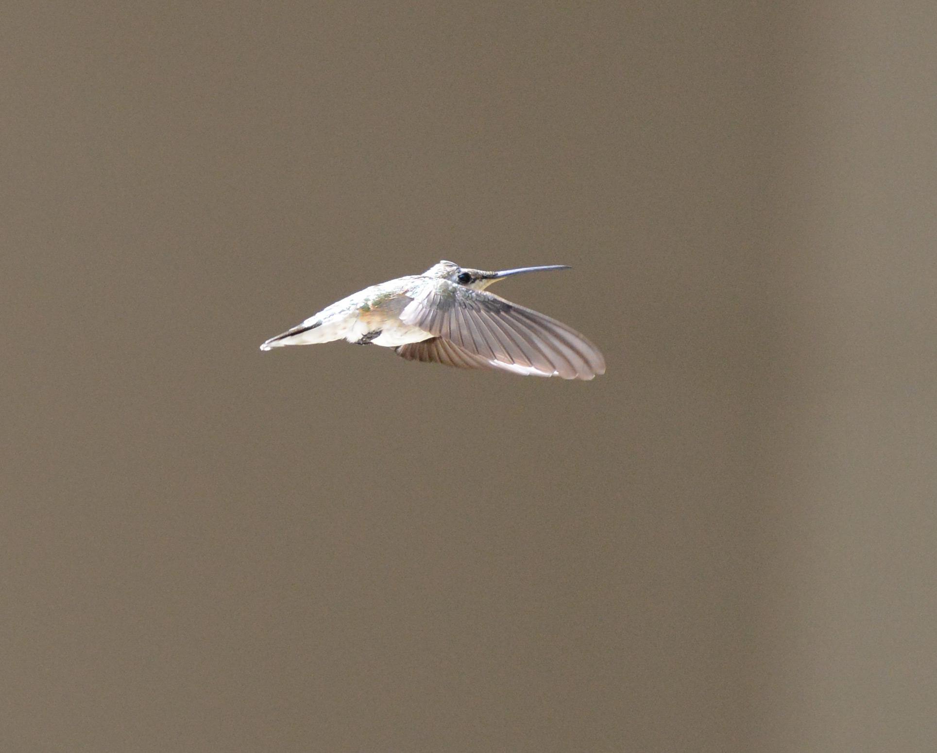 Hummingbird Espíritu Animal | Significado & amp; Simbolismo