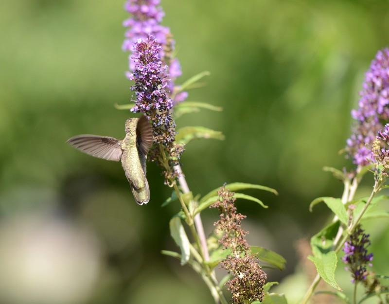 Hummingbird_DSC_4436