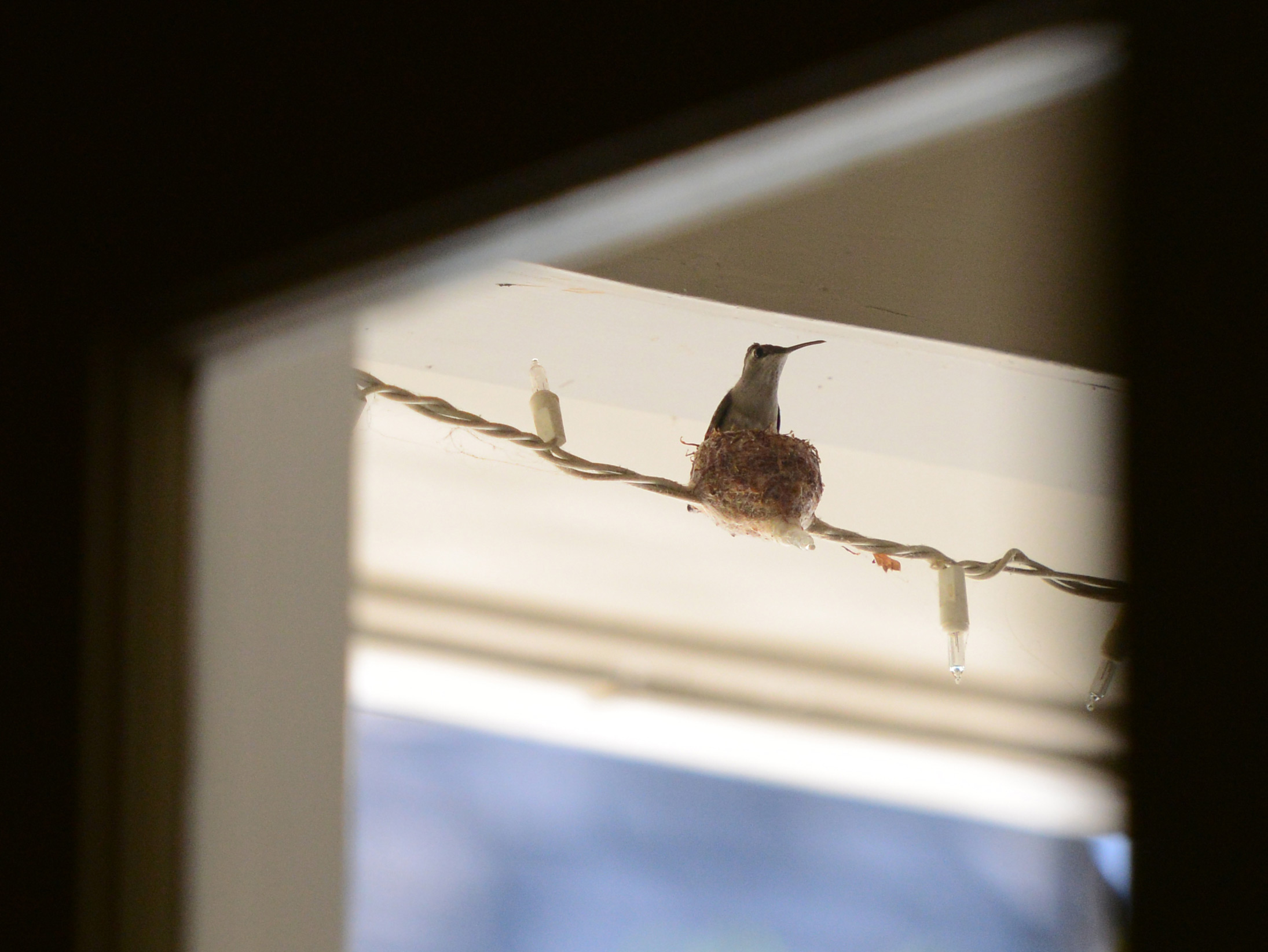 Hummingbird_DSC_4653