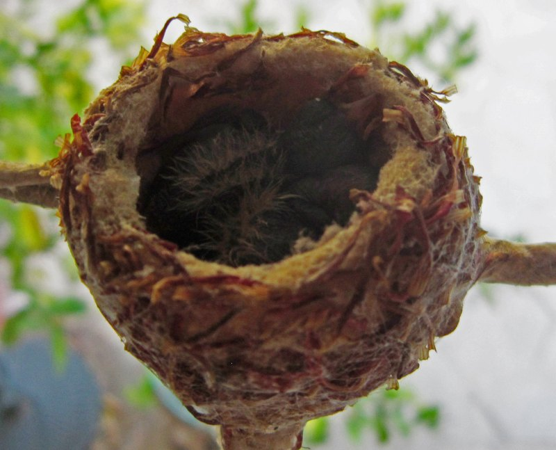 Hummingbird_Hatched_2169