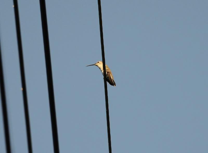 Hummingbird_Mama_DSC_5318
