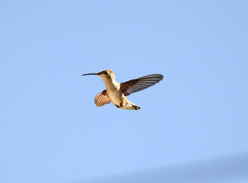 Hummingbird_Mama_DSC_5416