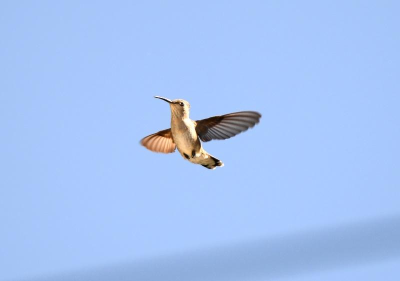 Hummingbird_Mama_DSC_5418