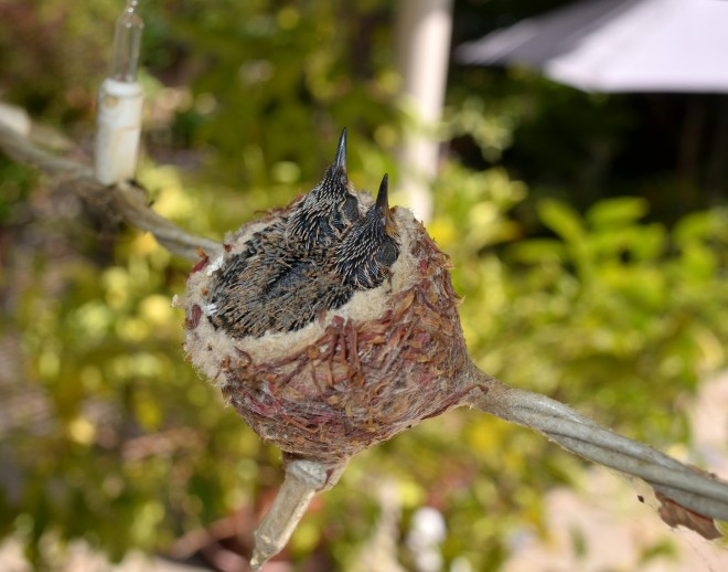Hummingbirds-Day9_DSC_0627