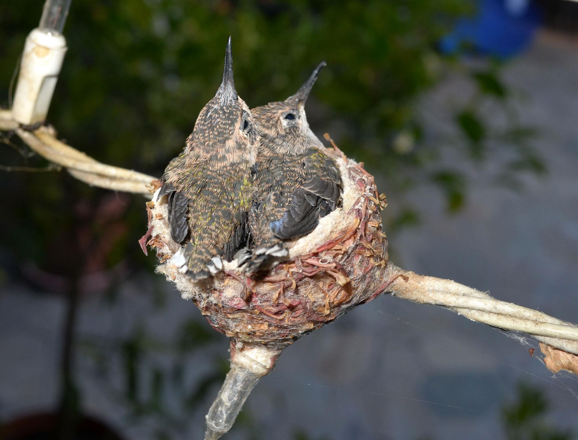 Hummingbirds_Day14_DSC_0652