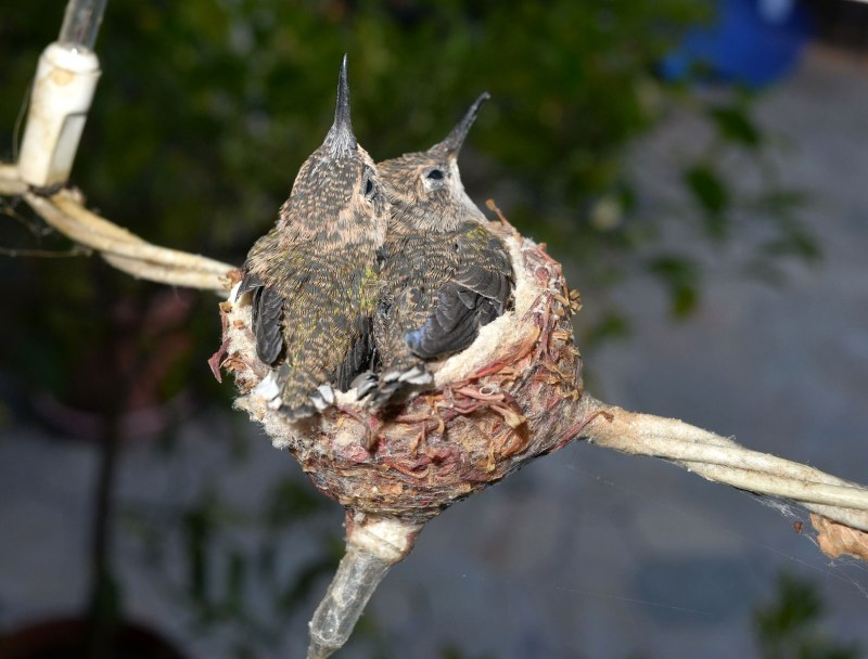 Hummingbirds_Day14_DSC_0652