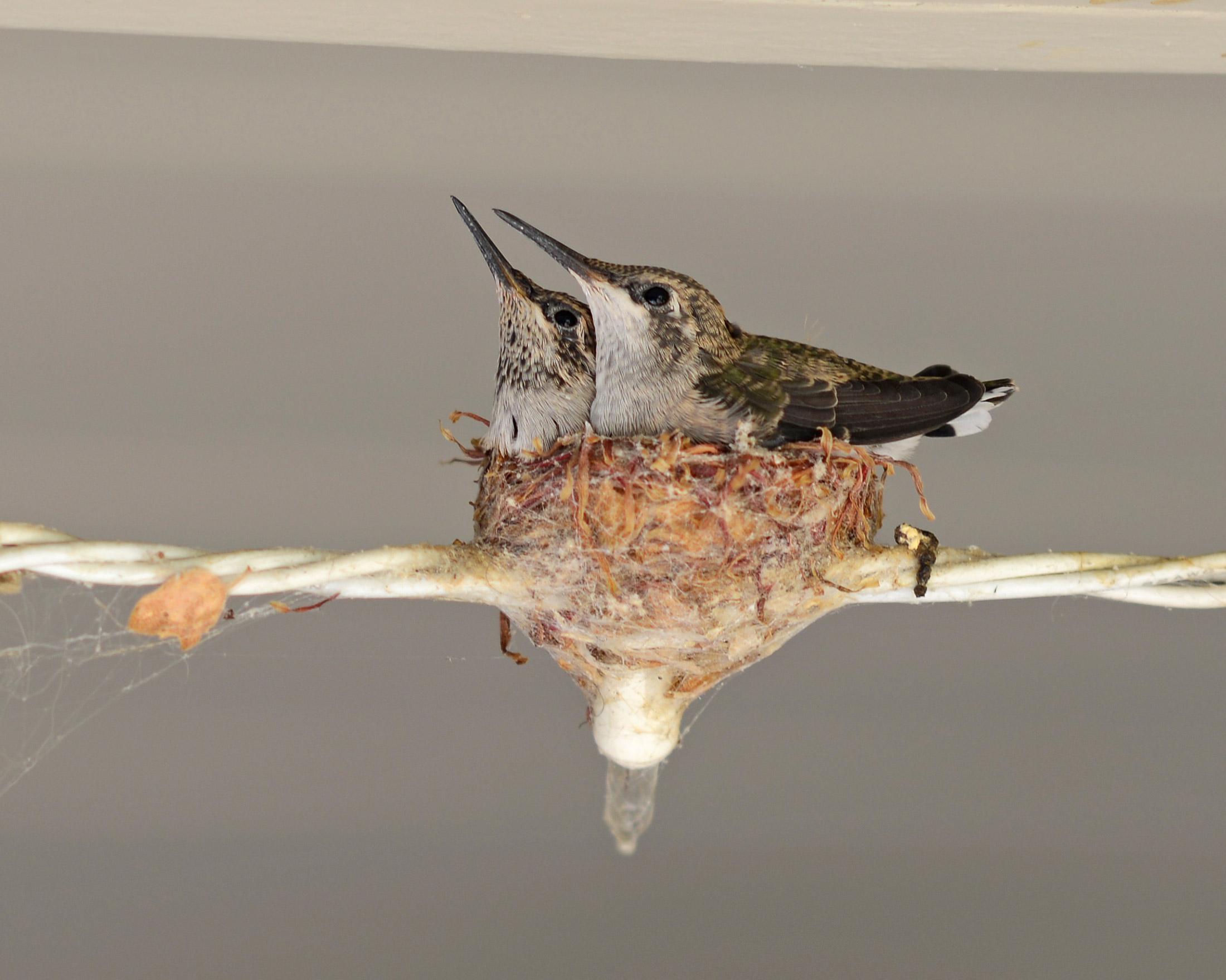 Hummingbirds_Day16_DSC_5306