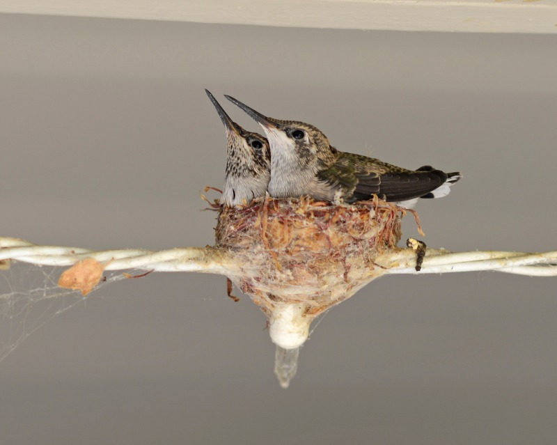 Hummingbirds_Day16_DSC_5306