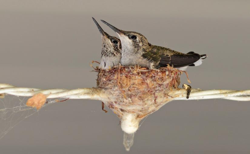 Hummingbirds: From Birth to FirstFlight
