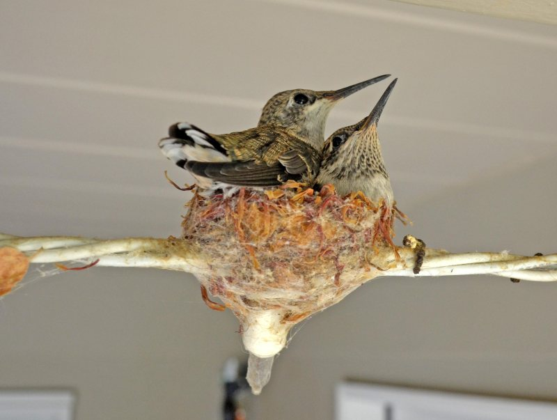 Hummingbirds_Day18_DSC_0679