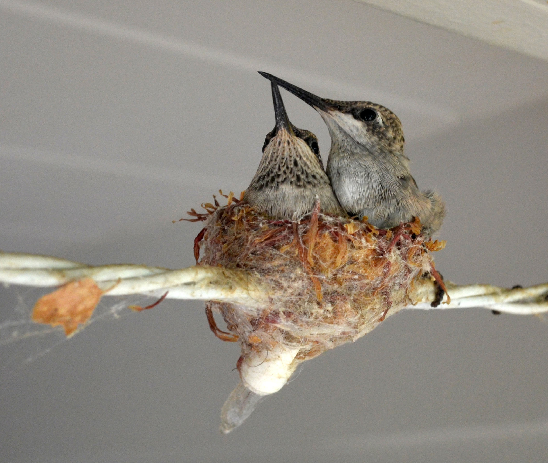 Hummingbirds_Day19_DSC_0684