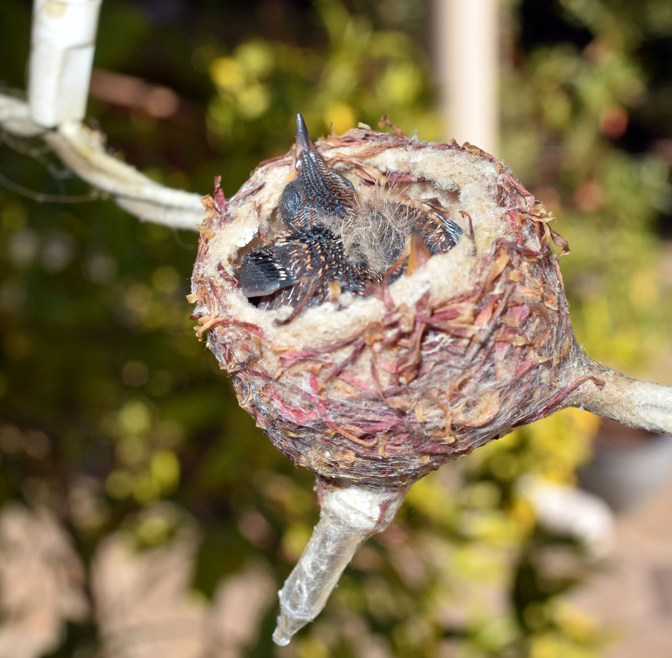 Hummingbirds_Day5_DSC_0623