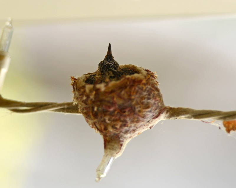 Hummingbirds_Day8_DSC_5020