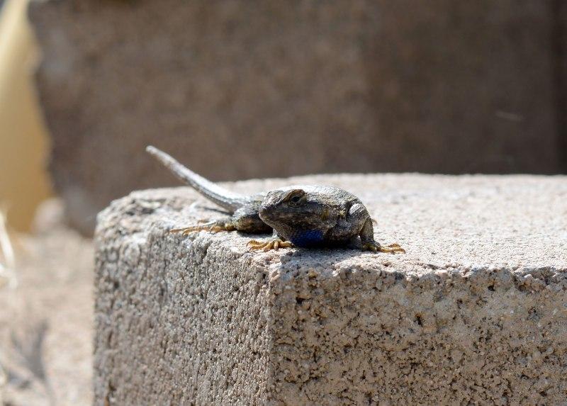 Lizard_DSC_2918