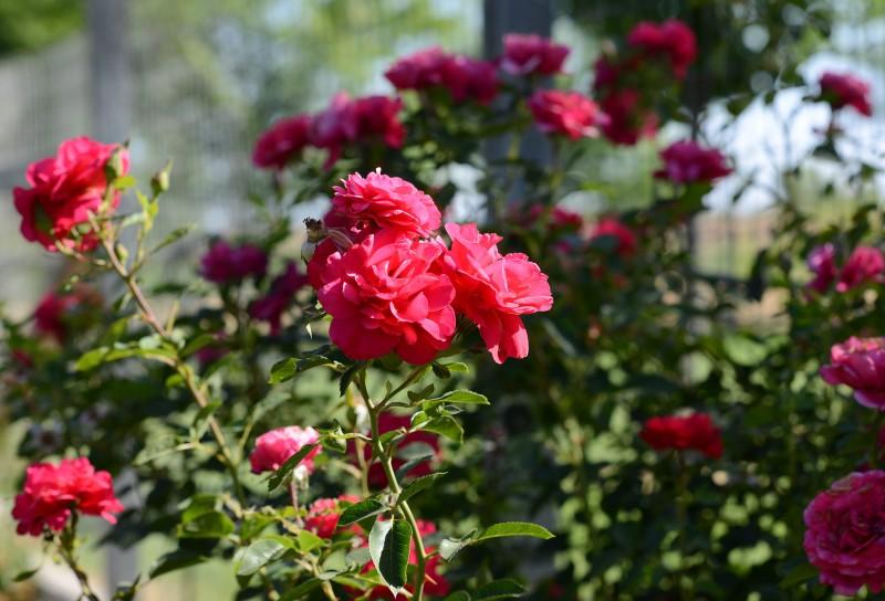 Roses_DSC_4957