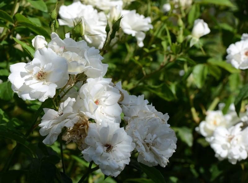Roses_DSC_5255