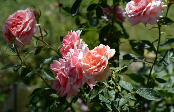 Roses_DSC_5269