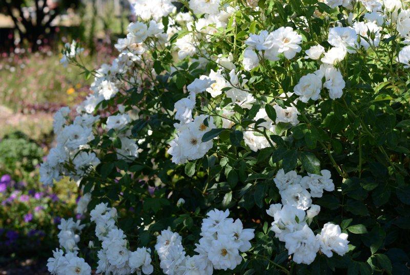 Roses_DSC_5685