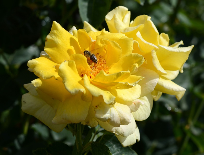 Yellow_Rose_DSC_4815