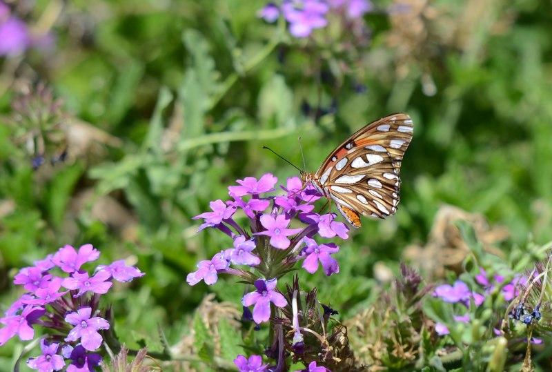 Butterfly_P_DSC_6255