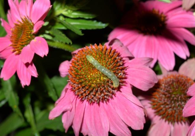 Caterpillar_DSC_0818